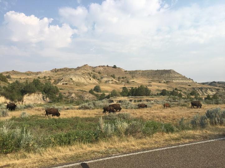 1c - TR (Bison Herd)