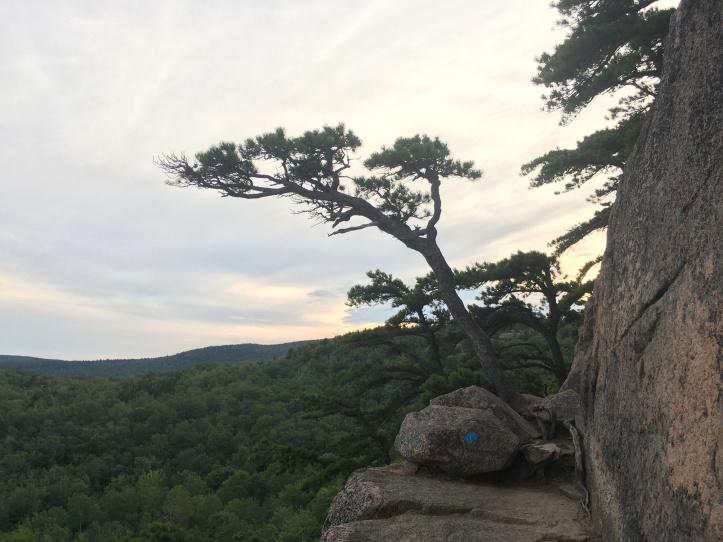 6g - Torrey Pine Look Alike